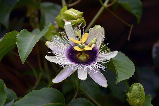 Passion Flower, Blossom, Bloom, Passiflora, Symbol