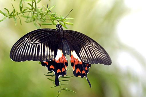 Butterfly, Insect, Wing, Flying, Animal, Black, White