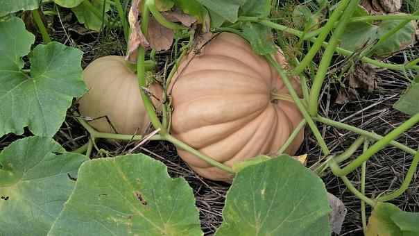 Pumpkin, White, Nature, Autumn, Fall, Vegetable