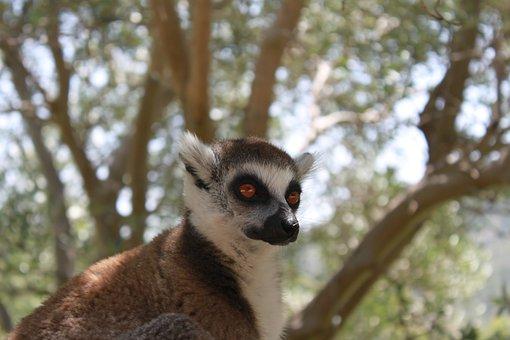 Lemur, Animal, Lemurs, Nature, Mammal, Zoo, Wild Life