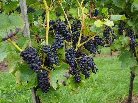 Grapes, Berries, Wine Berries, Blue, Pods, Vines, Vitis