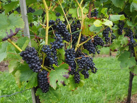 Grapes, Berries, Wine Berries, Blue, Pods, Vines, Vitis