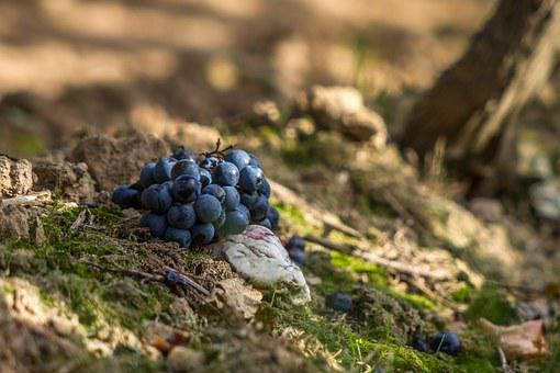 Grapes, Red, Blue, Wine, Winegrowing, Grapevine