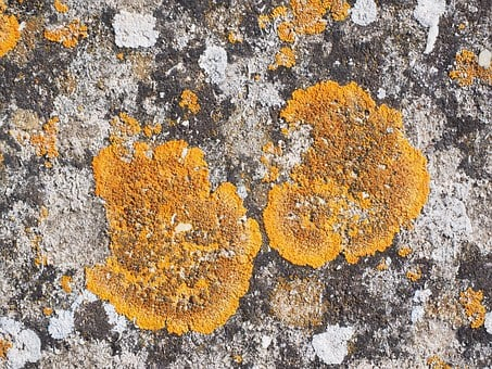 Ordinary Gelbflechte, Xanthoria Parietina, Stone, Weave
