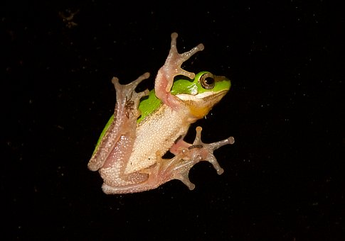 Green Tree Frog, Green, Yellow, Tiny, Webbed Feet
