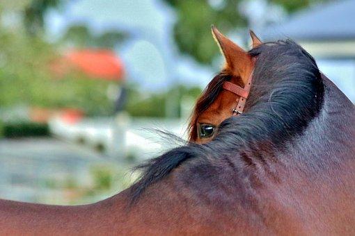 Andalusian, Bay, Stallion, Eye, Horse, Equine, Animal