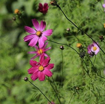 Flower, Summer, Nature, Garden Flower, Beautiful Flower