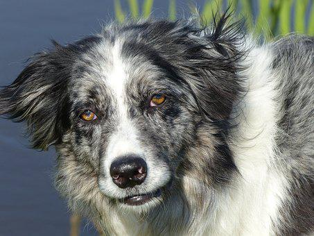 Dog, Pet, Animal, Collie, Border-collie, Border Collie