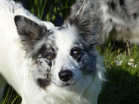 Border Collie, Dog, Dogs, Animals, Border-collie