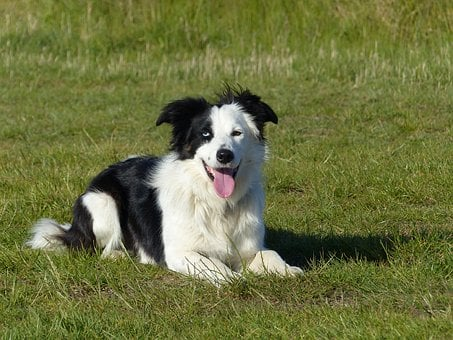 Dog, Border Collie, Border-collie, Collie, Animal, Pet