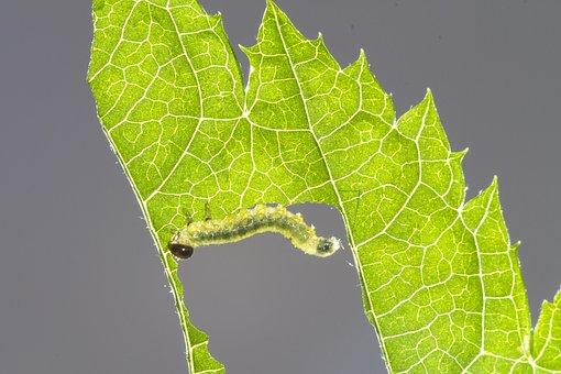 Sawflies Larvae, Caterpillar, Leaf Damage