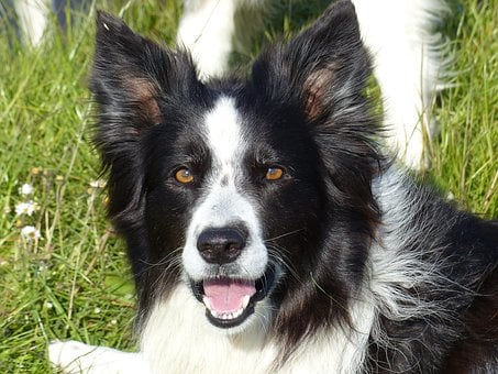 Border Collie, Black White, Dog, White, Black, Collie