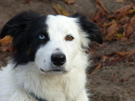 Dog, Border Collie, Three Colors, Pet, Collie, Animal
