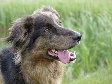 Dog, Crossing, Brown, Split Face, Face, Cute, Eyes