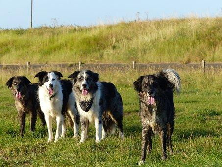 Dogs, Family, Border Collie, Bordercollies, Crossing