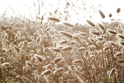 Dune-grass, Hare's-tail, Cotton-grass, Grass