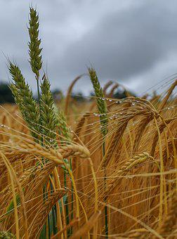 Nature, Cereals, Barley, Agriculture, Field