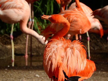 Flamingo Cuban, Phoenicopterus Ruber Ruber