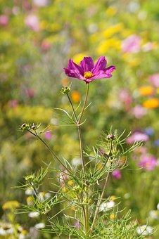 Macro, Flower, Close, Sun Flower, Pink, Datailaufnahme