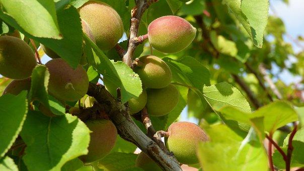 Tree, Apricot, A Branch, Fruit, Foliage