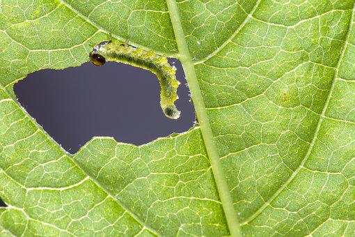 Sawflies Larvae, Caterpillar, Leaf Damage