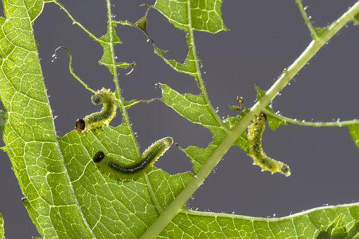 Sawflies Larvae, Track, Leaf Damage, Small Caterpillar