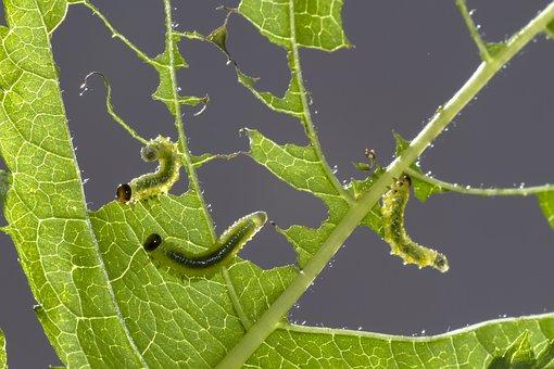 Sawflies Larvae, Track, Leaf Damage, Small Caterpillar