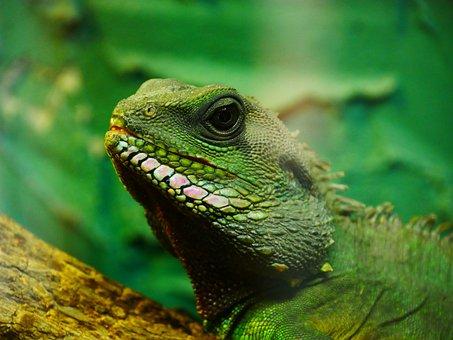 Chameleon, Green, Lizard, Animal, Reptile