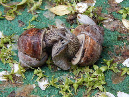 Snail Couple, Snail, Love Game, Lovers, Devoured