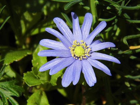 Flower, Blue, Macro, Blossom, Bloom, Blue Flower, Close