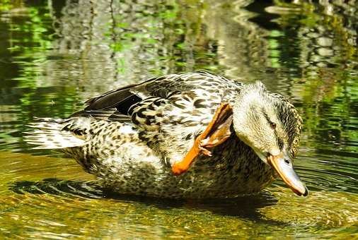 Animal, Duck, Water Bird, Water, Feather, Bill, Mallard