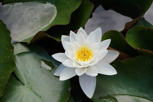 Pond, Nuphar Lutea, Garden Pond