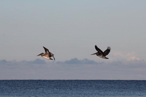 Pelicans In Flight, Gulf Of Mexico, Florida, Pelikan