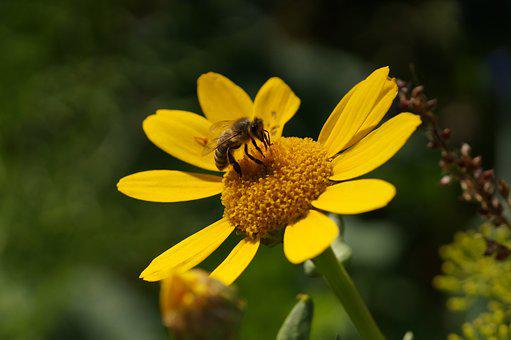 Bee, Close, Yellow, Insect, Pollination, Nature