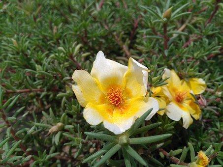 Portulaca Oleracea L, Purslane Flowers