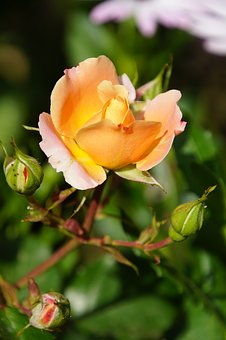 Rose, Blossom, Bloom, Close, Rosaceae, Yellow, Velvet