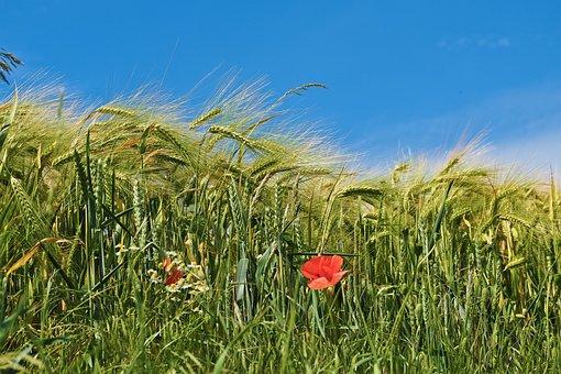 Grain, Cornfield, Field, Cereals, Wheat, Agriculture
