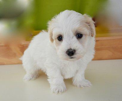 Puppy, Dog, Petit, Animal, Mascot, White Fur, Soft
