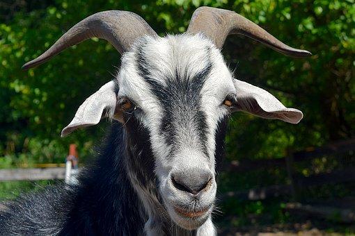 Goat, Portrait, Face, Horns, Close Up, Head, Animal