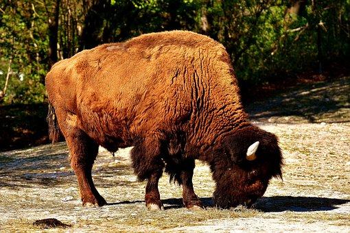 Bison, Wild Animal, Animal World, Nature