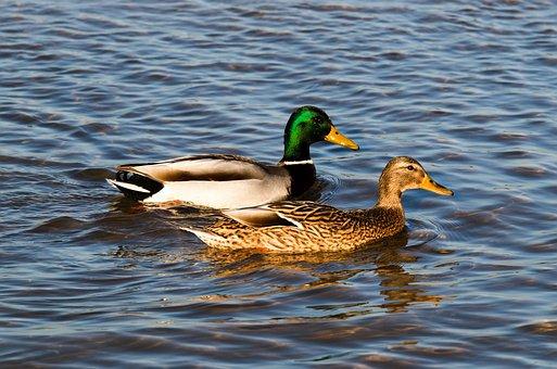 Duck, Water, Ducks, Animals, Bird, Wild Birds
