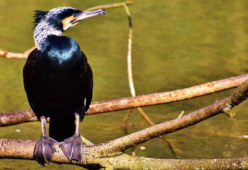 Cormorant, Phalacrocorax Carbo, Black, Water Bird