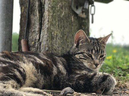 Cat, Farm, Bauer Cat