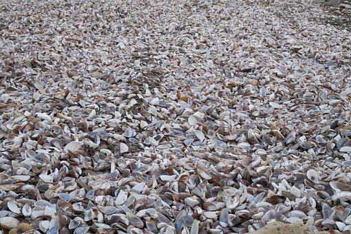 Mussels, Coquina, Shellfish, Beach, Lake, Sea, Ocean