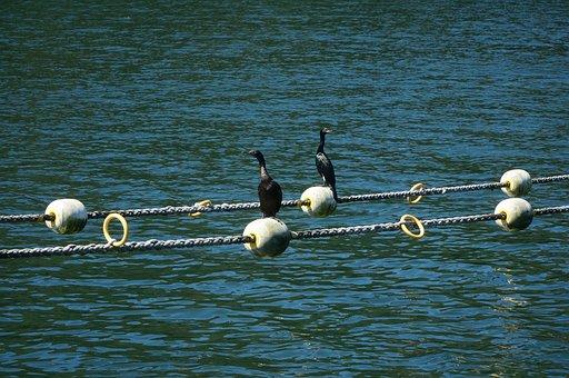 Cormorant, Cormorants, Birds, Wildlife, Bird Sunning