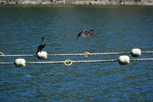 Cormorant, Cormorants, Birds, Wildlife, Bird In Flight