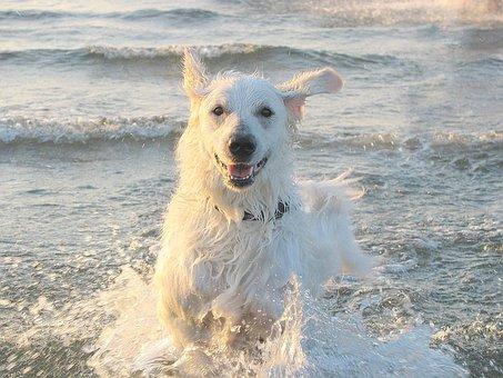 Kuvasz, Dog, Shepherd Dog, Water, Sea, Swim, Beach