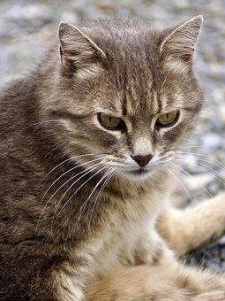 Cat, Domestic Cat, Animal, Mieze, Pet, Nature, Mackerel