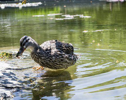 Duck, Pond, Water, Wildlife, Bird, Lake, Nature