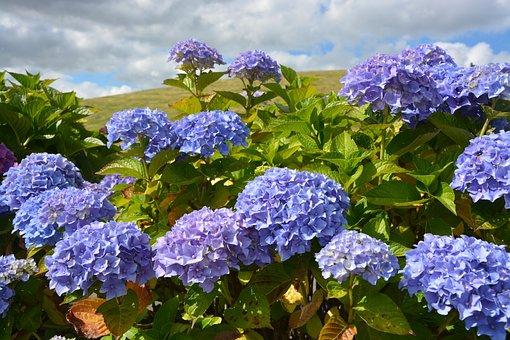 Hydrangeas, Blue, Purple, Flowering, Garden, Petals